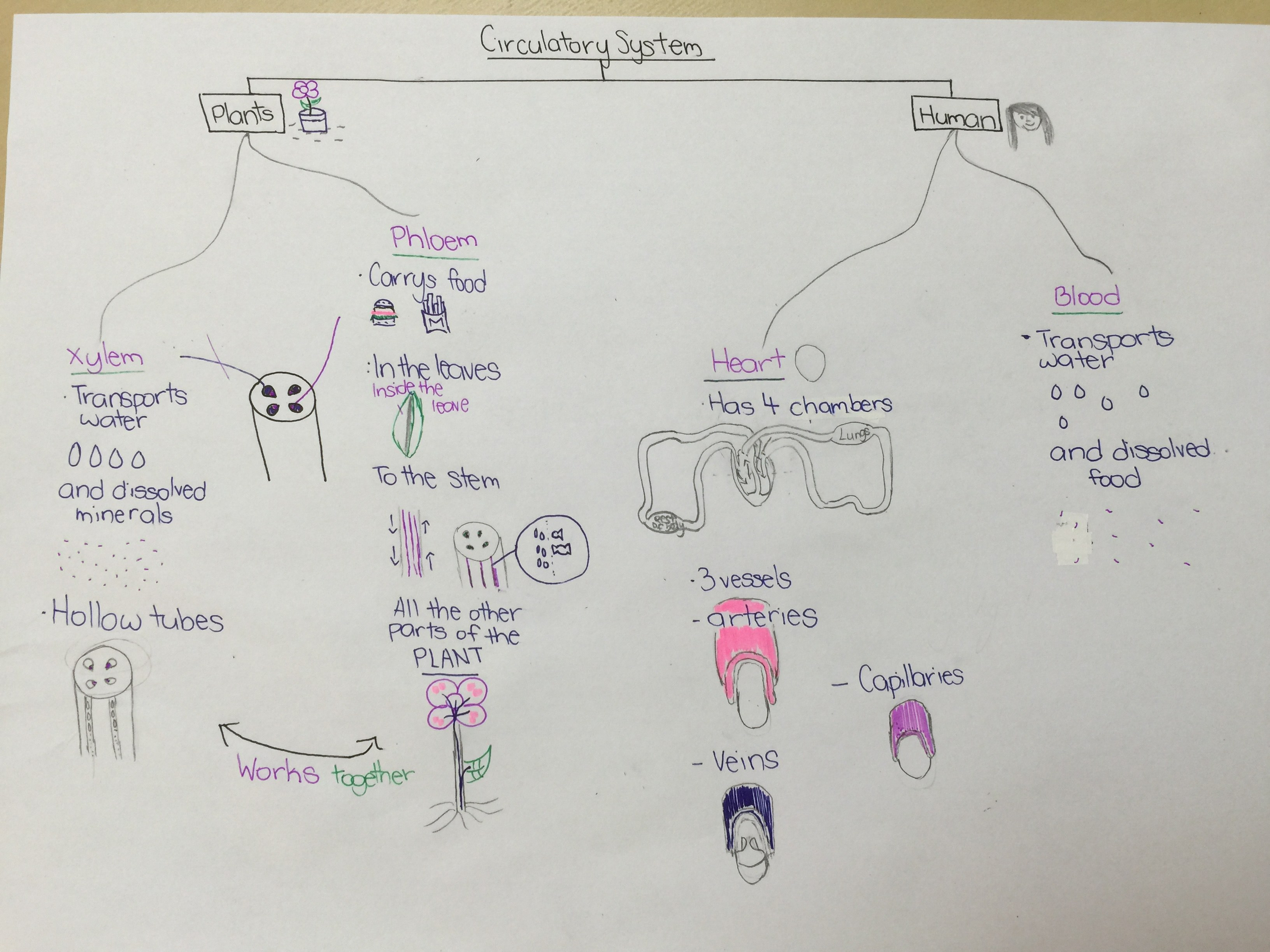 One Of The Best Mindmap Of Circulatory System By P5 Student